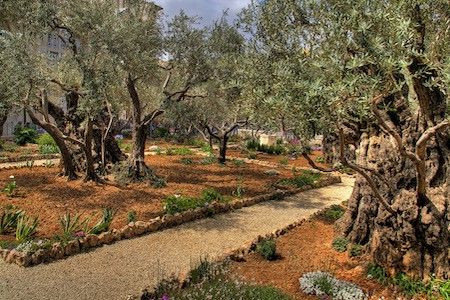 GARDEN OF GETHSEMANE – According to the Bible, Gethsemane was located east of Jerusalem, across the Kidron Valley, on or near the Mount of Olives. Here, Jesus found a refuge where he could quietly teach his disciples. The exact location of the garden of Gethsemane cannot be determined, because all the trees around Jerusalem were cut down during the Roman siege in 70 C.E. One tradition identifies Gethsemane with the garden that is located at the foot of the Mount of Olives, at the fork of the road on its west slope. Eight olive trees in that garden have been there for centuries.
